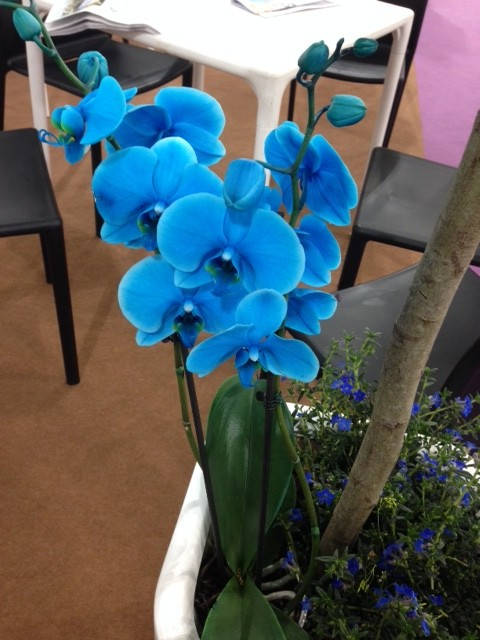 image showing These fantastic blue orchids were on display throughout the halls – loved them!